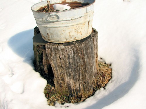 Snow melting around tree stump