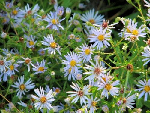 One of many asters blooming in the fields.