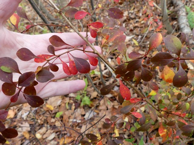 Japanese barberry in woods
