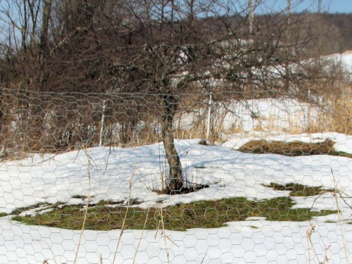 Snow melting near crabapple