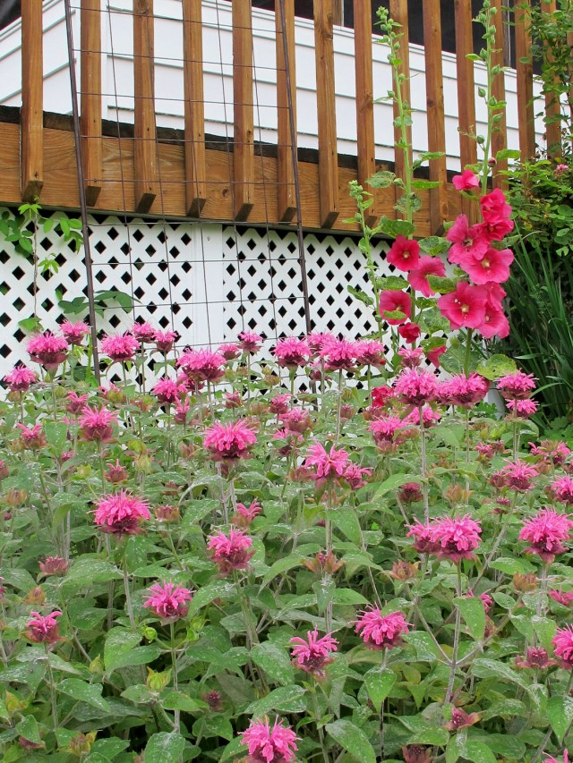 bee balm and holly hock