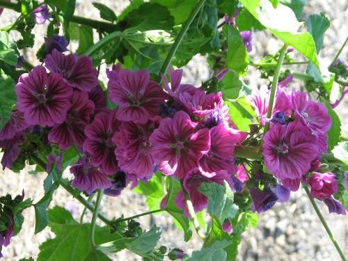 Cluster of Bibor Felho (Purple Cloud) mallow flowers