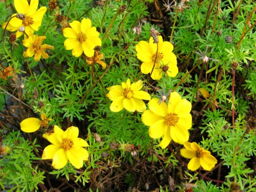 Bidens ferulifolia Goldilocks Rocks