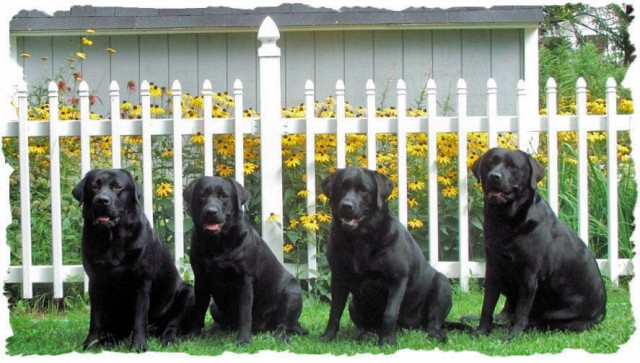 Black labs in garden