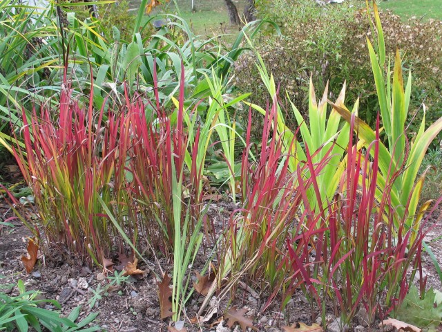Japanese blood grass and blackberry lily