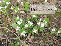 bloodroot featured