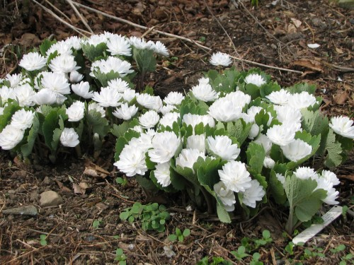 double bloodroot, Sanguinaria canadensis 'Multiplex'