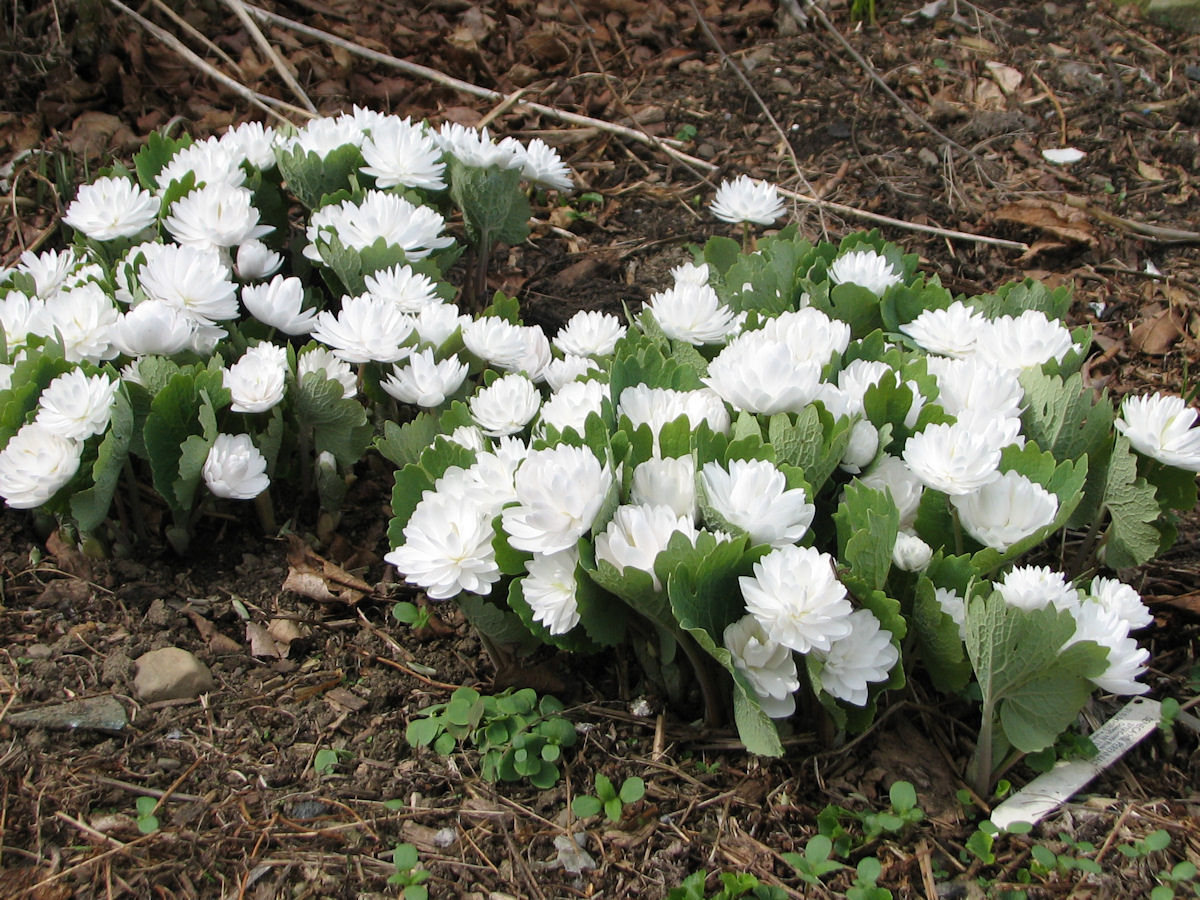 Bloodroot Wildflower Wednesday