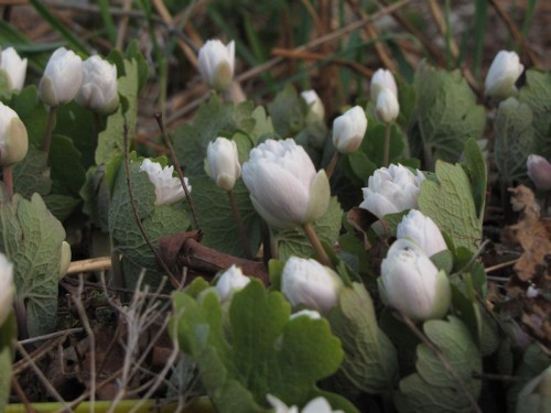 double bloodroot in full bud