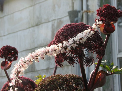 The pink tinged bottlebrushes of the bugbane complement the angelica's maroon domes