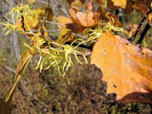 In some years, the witch hazel doesn't drop its leaves, making it more difficult to see the flowers.