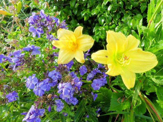 blue paradise phlox and daylilies
