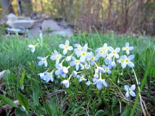 bluets, Quaker ladies, Houstonia caerulea