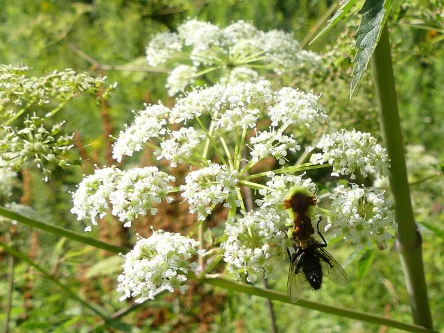 bug eat fly on water hemlock