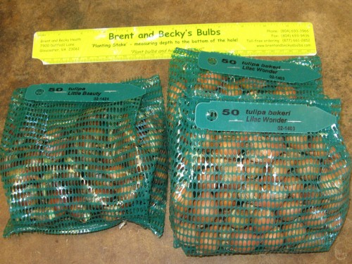 Here are the tulip bulbs straight out of the box.