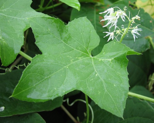 Leaf and flowers of bur cucumber Echinocystis lobata