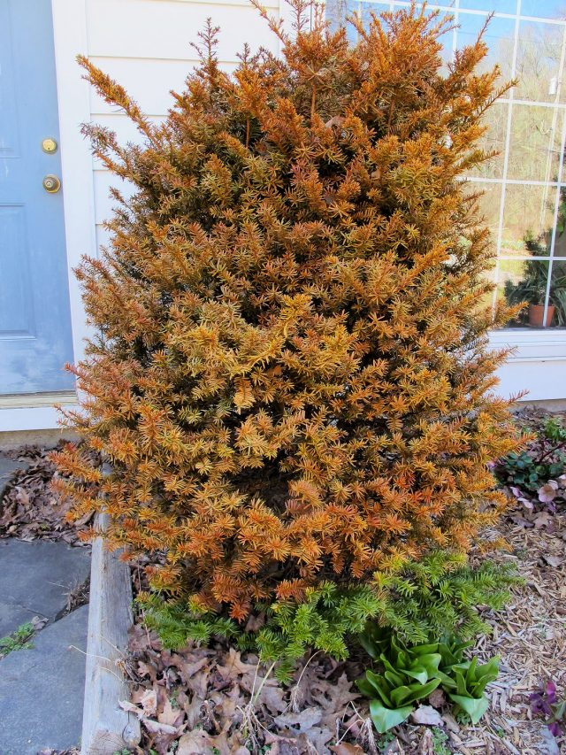 winter-killed yew evergreen shrub