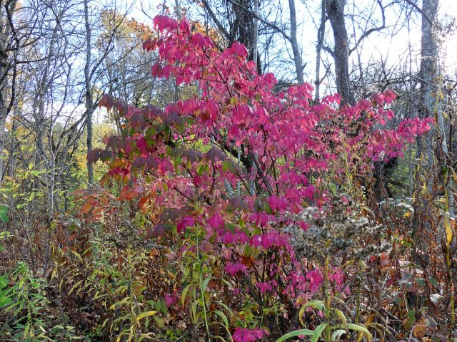 burning bush Euonymus alata