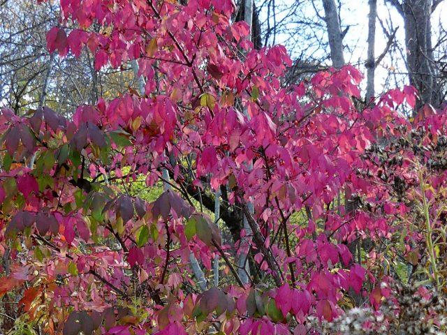 burning bush berries Euonymus alata