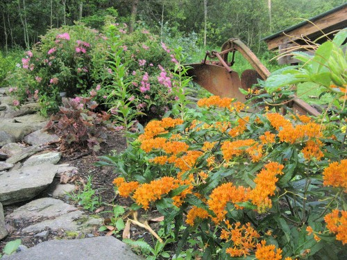 butterfly weed and spirea