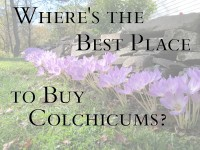 buy colchicums featured image