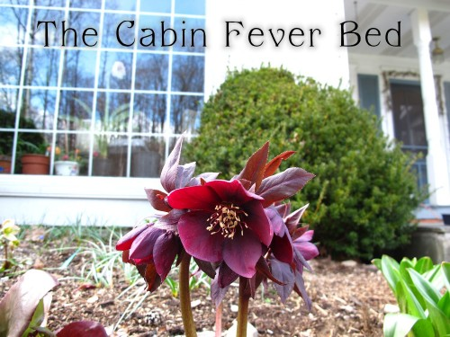 A red hellebore blooms in an early spring garden.