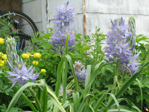 camassia electra well grown