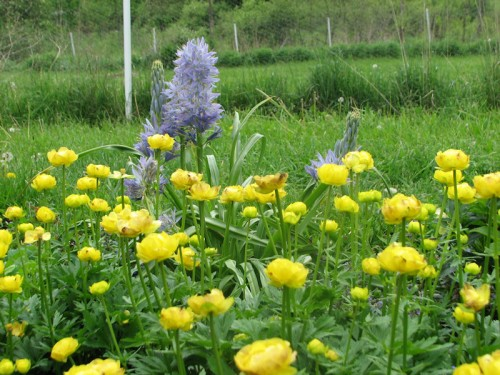 Electra camassia and globeflower
