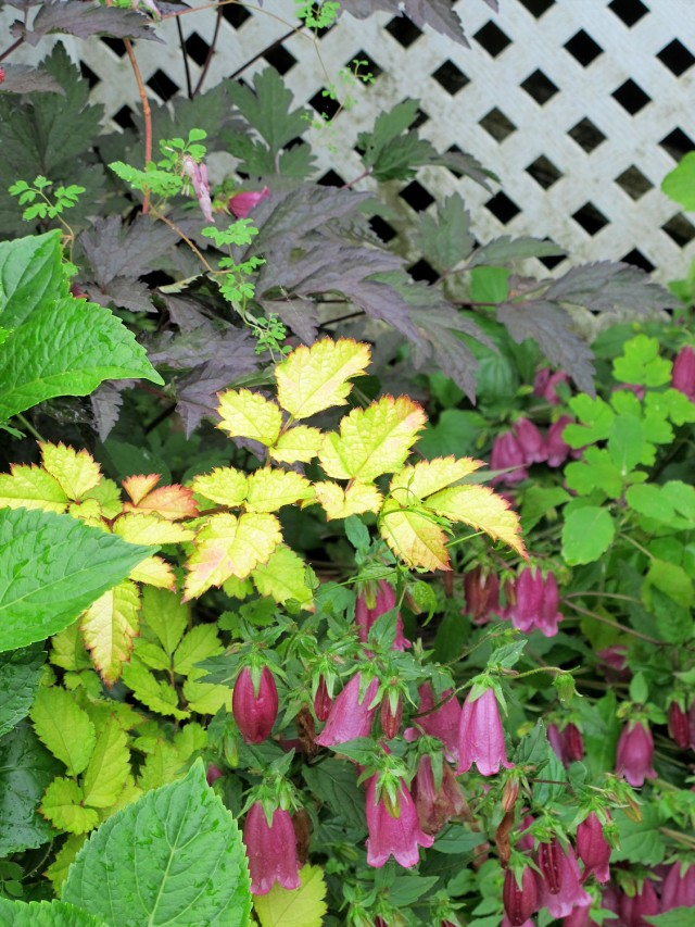 black negligee bugbane, Amber Moon astilbe, ringsabell mulberry rose