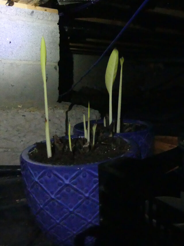 canna growing in the dark