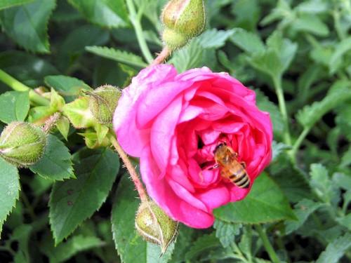 Cape Diamond rose