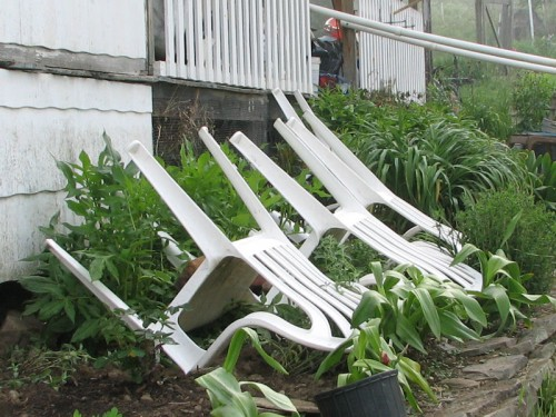 catmint_protected_with_chairs