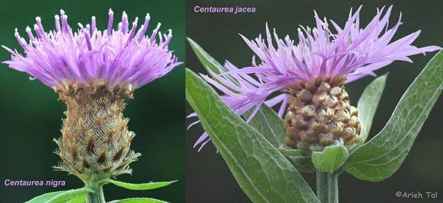 Comparison of Centaura jacea and C. nigra