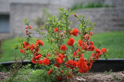 Double Take™ 'Orange Storm' flowering quince Chaenomeles speciosa