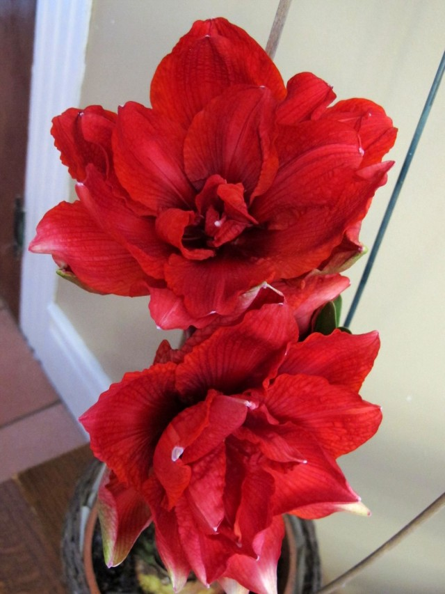 'Cherry Nymph' amaryllis from Longfield Gardens