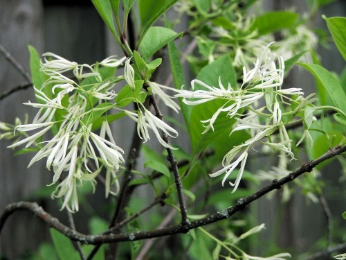 Chionanthus virginicus, Fringe Tree by Brian Bixley