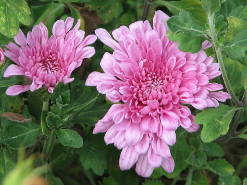 This passalong chyrsanthemum is passed along for a reason