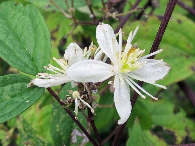 native clematis flower closeup
