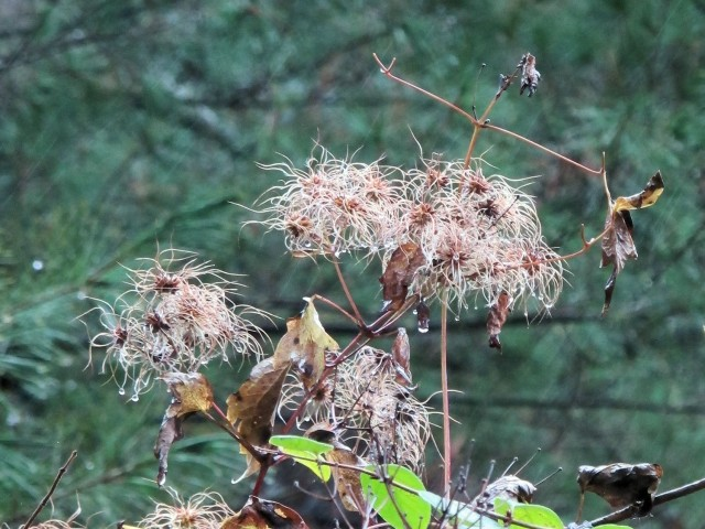 clematis seedheads October