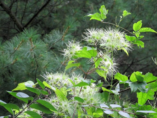 native clematis virginiana seedheads in August