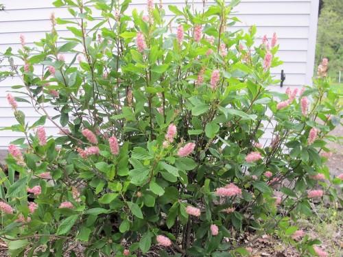 Clethra alnifolia Summersweet