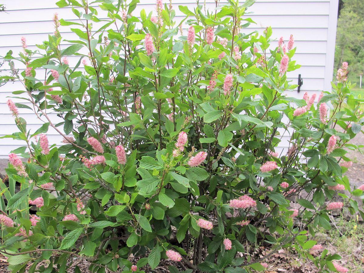New shrubs to identify garden bloggers bloom day august 2012 for Landscape bush identification