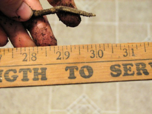 Yardstick measuring root of clivia