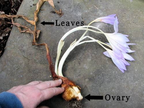 blooming colchicum corm with ovary and leaves labeled