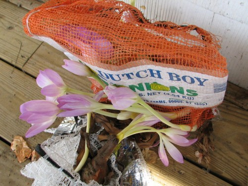 Colchicums sprouting in bags