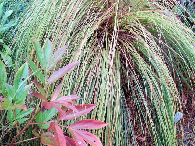 color echo grass peony