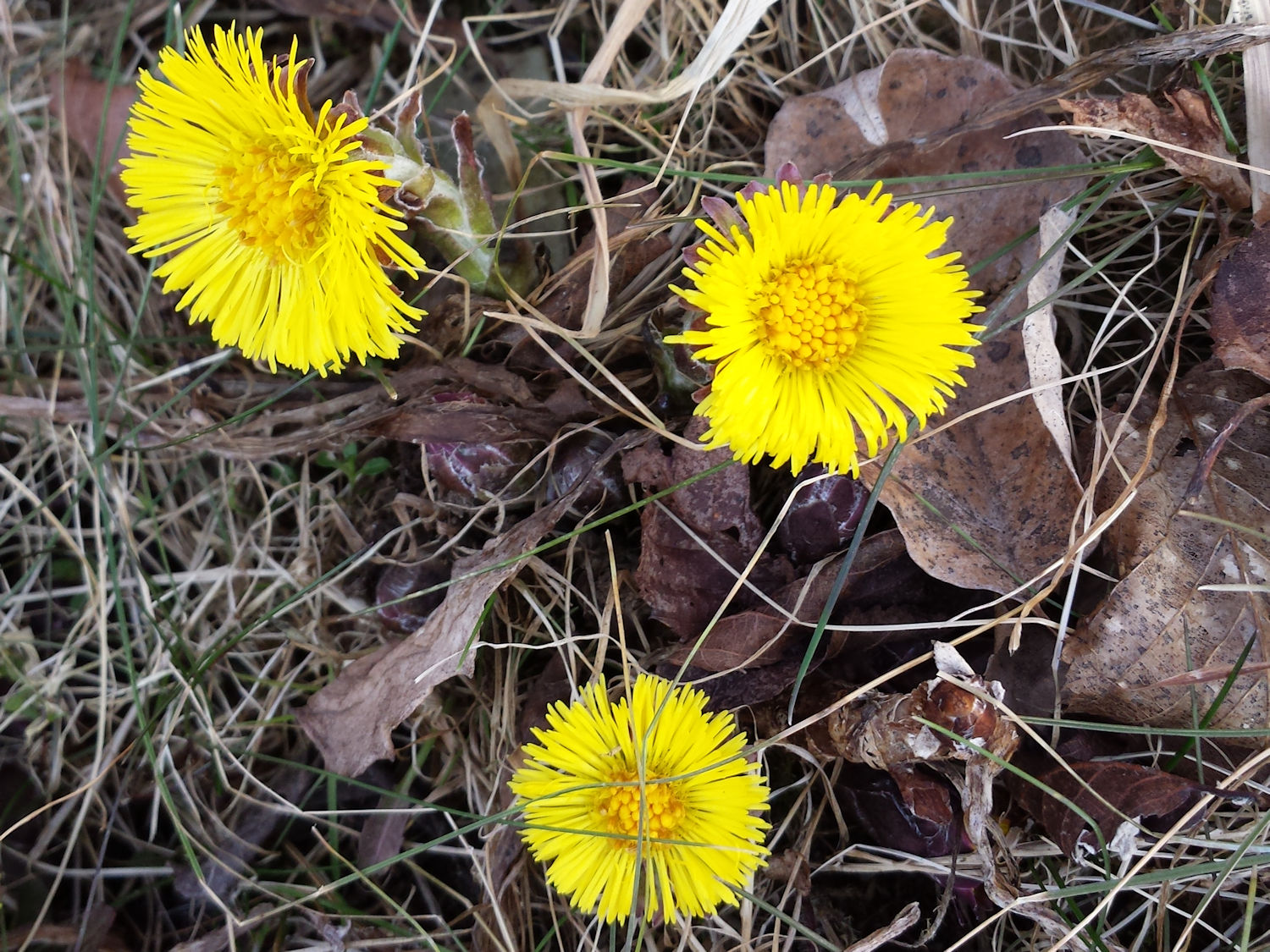 Coltsfoot Its Not A Dandelionwildflower Wednesday March 2012