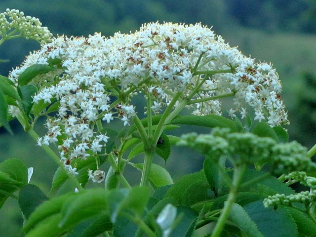 common elderberry flower