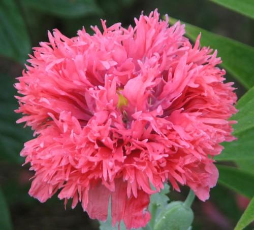 Coral peony poppy, laciniata type