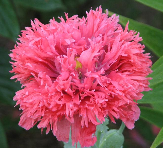 Peony poppies mightylinksfo